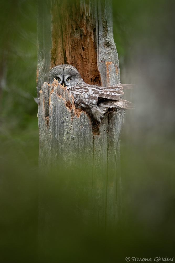 Fotografia di animali con un allocco di lapponia nel nido