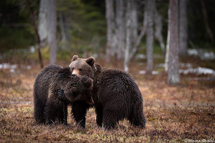 Fotografia di animali con due cuccioli di orso bruno che giocano