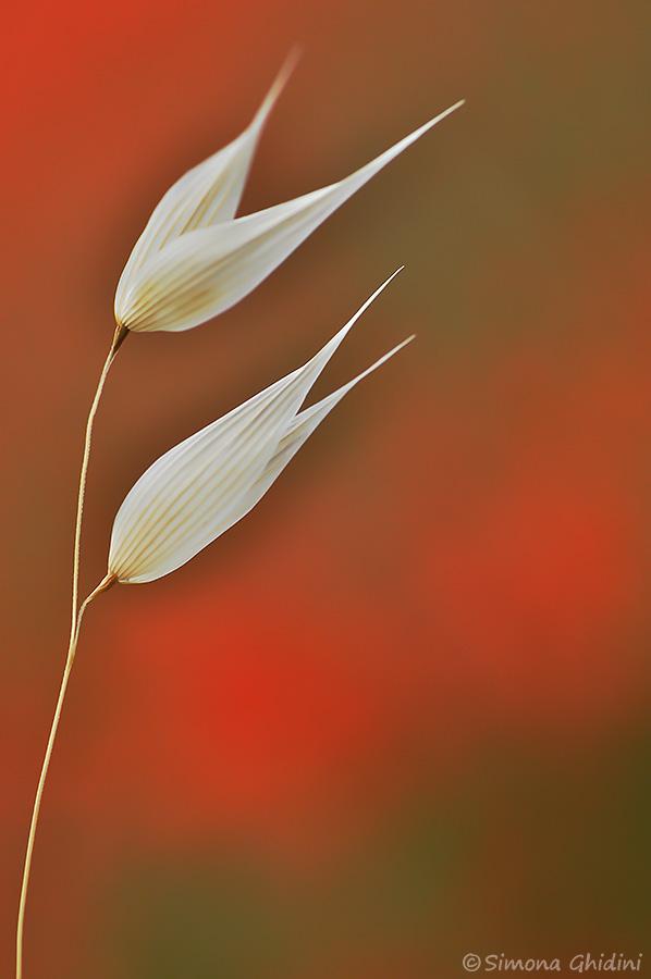 Fotografia close-up di fiori con due fiori bianchi e sfondo sfuocato
