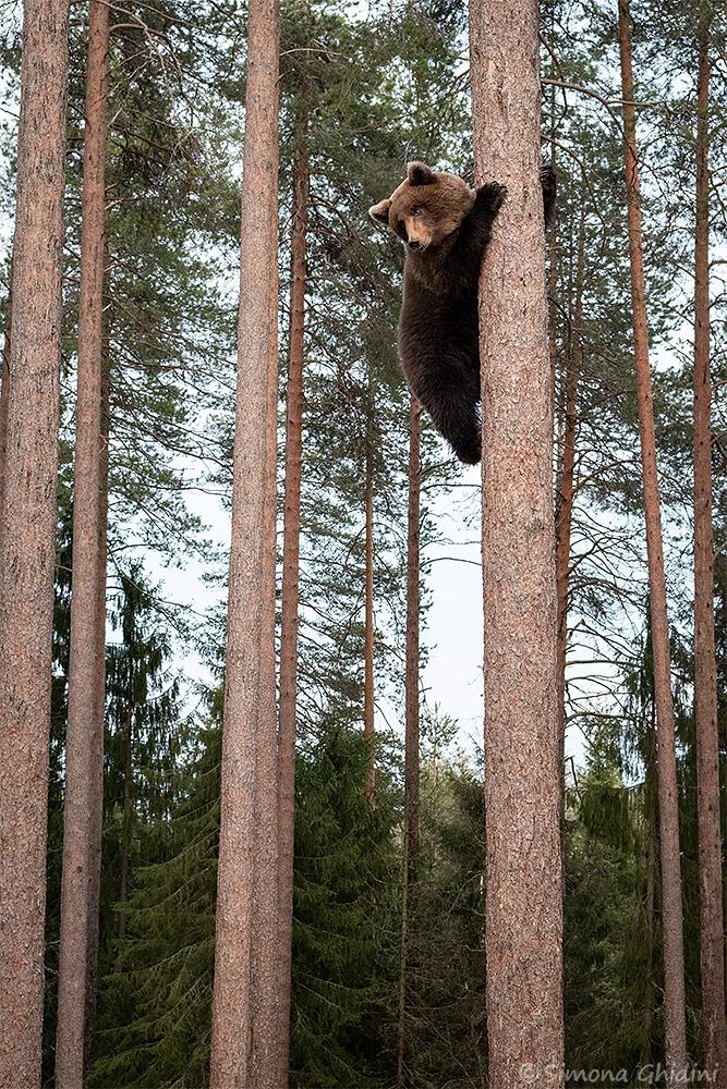 Fotografia di animali con un orso bruno arrampicato su un albero