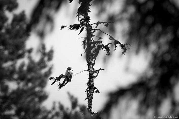 Fotografia di animali con un'ulula sul ramo di un albero