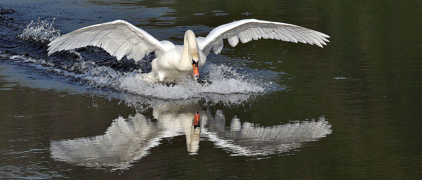 Fotografia di animali con un cigno in atterraggio riflesso nell'acqua