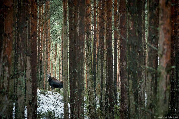 Fotografia di animali con un'alce che sbuca tra gli alberi nella foresta di Biebrza in Polonia