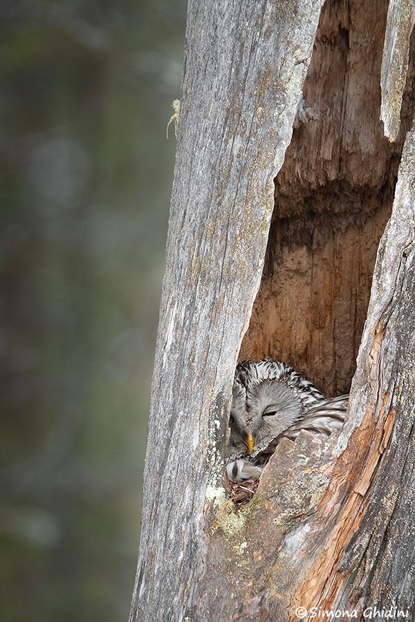 Fotografia di animali con un allocco degli urali nel nido situato dentro il tronco di un albero in lapponia finlandese