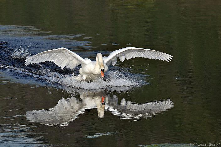 Fotografia di animali con un cigno in atterraggio che si riflette nell'acqua alla riserva naturale torbiere del sebino