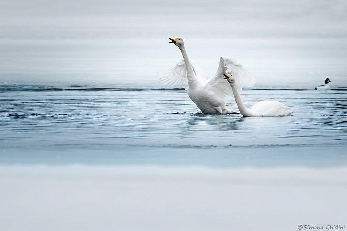 Fotografia di animali con due cigni selvatici in acqua