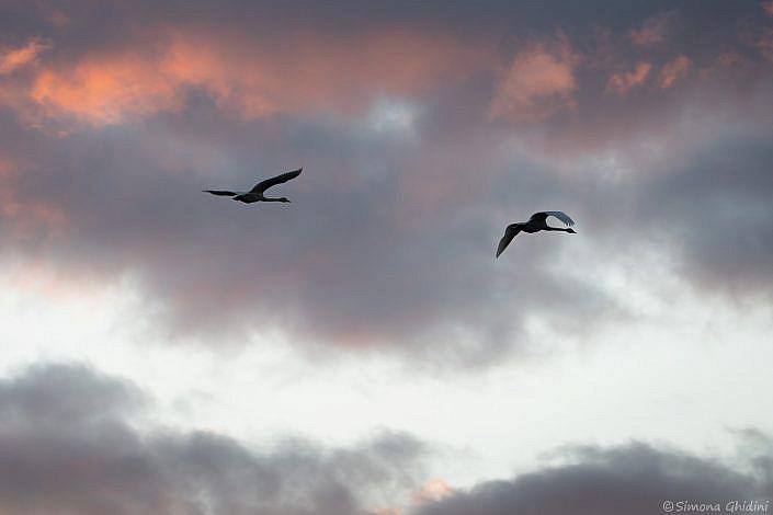 Fotografia di animali con due cigni selvatici in volo al tramonto