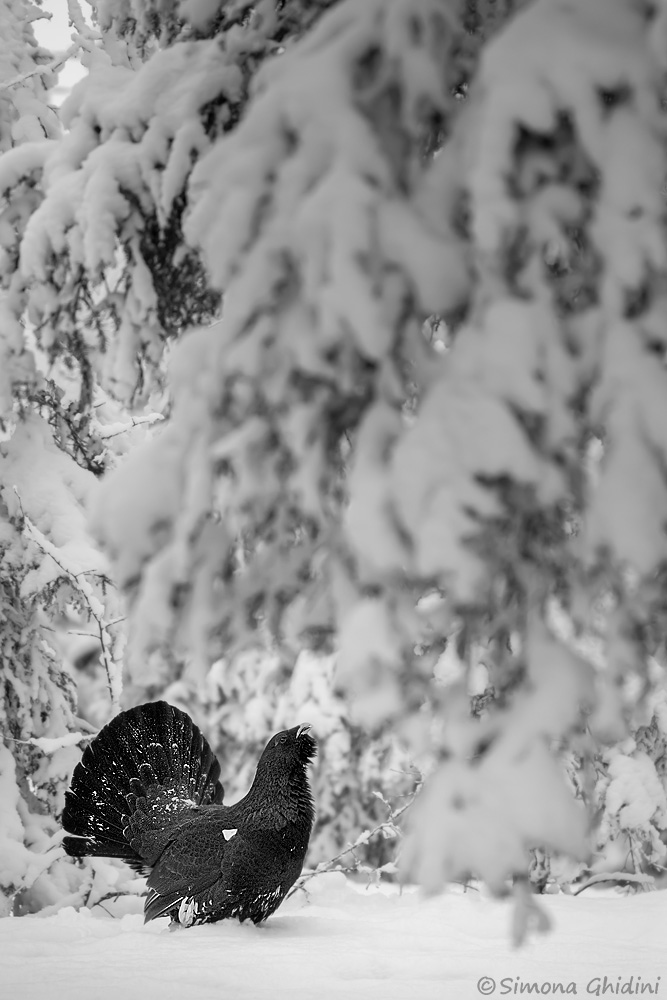 Fotografia di animali con un gallo cedrone in parata nella neve