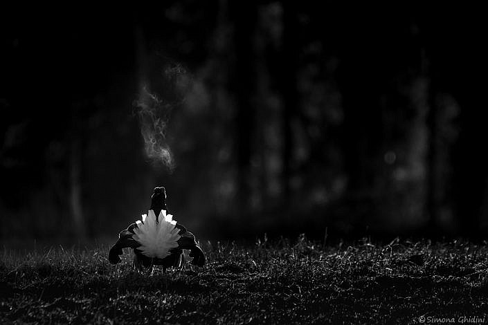 Fotografia di animali con un gallo forcello in parata e respiro visibile